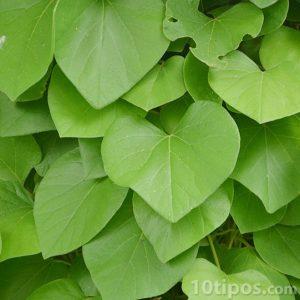 Hojas en forma de corazón de color verde