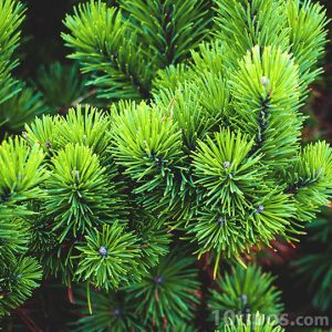 Rama de pino con sus hojas en forma de aguja