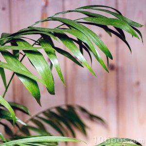 Rama con hojas lanceoladas de color verde