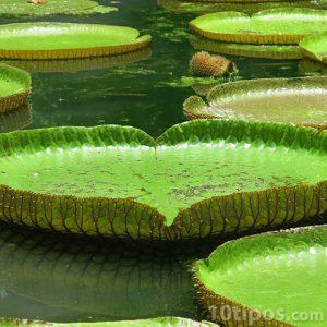 Lago con hojas flotantes circulares