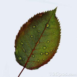 Hoja de color verde con rocío