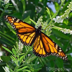 Mariposa monarca descansando sobre una rama