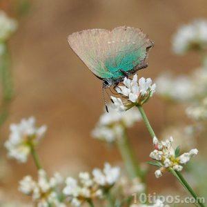 Mariposa de color verde