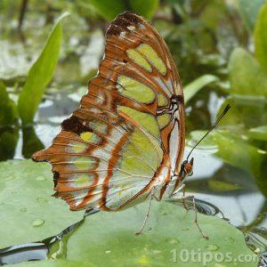 Mariposa de grandes dimensiones sobre planta acuática