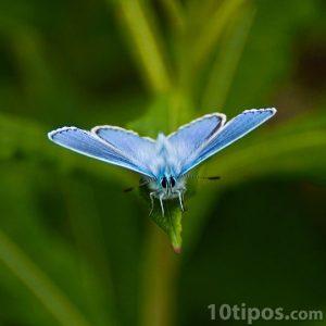 Mariposa de color azul con lineas negras y blancas
