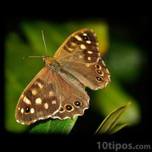 Mariposa de colores marrones con puntos negros
