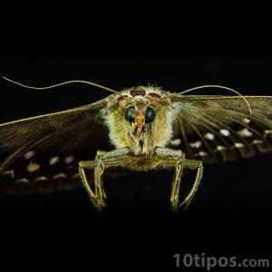 Mariposa tipo polilla de colores opacos