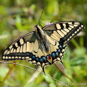 Mariposa de colores amarillo y negro con puntos azules