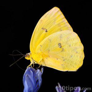 Mariposa de color amarillo sobre flor morada