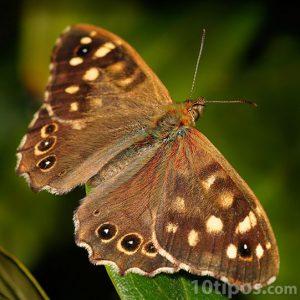 Mariposa marron con puntos blancos
