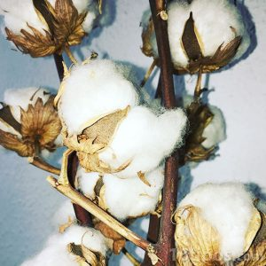 Planta de algodón lista para cosechar