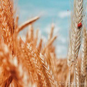 Trigo cosechado