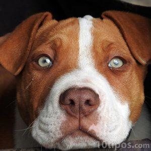Perro de color café y blanco