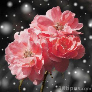 Flores de color durazno