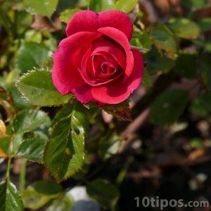 Rosa pequeña