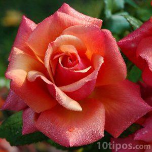 Acercamiento a una rosa