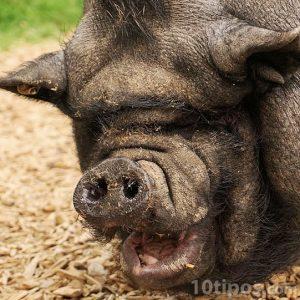 Fotografía de un cerdo