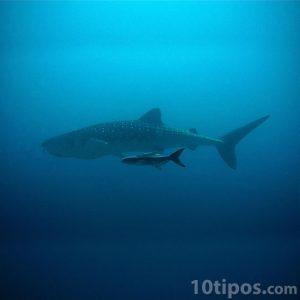 Tiburón sin dientes