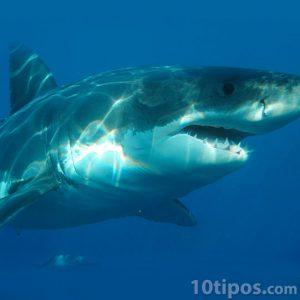 Tiburón feroz