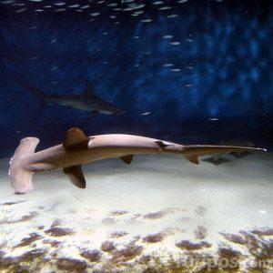 Tiburón tipo martillo