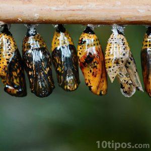 Variedad de capullos de mariposa