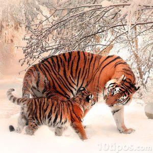 Tigres en bosque nevado