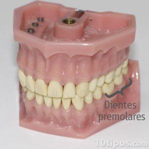 Modelo de dentadura de plástico