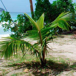 Brote de palmera