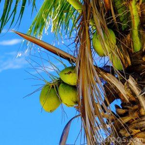 Fruto verde de palmera